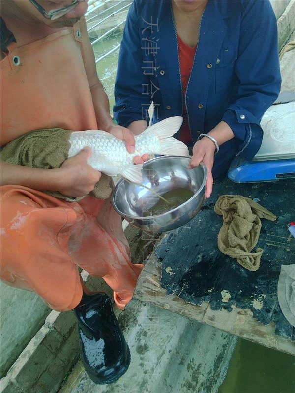孵化錦鯉魚苗